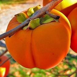 Сочный и яркий плод – хурма