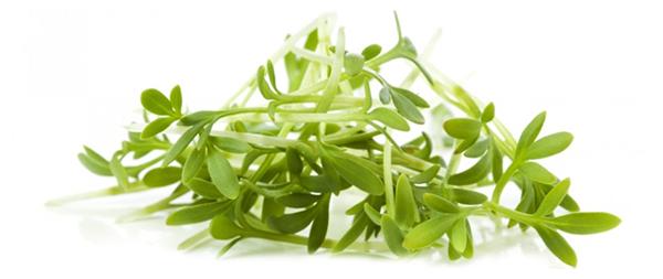 Кресс-салат (садовый кресс, лихорадочная трава, огородный перечник, хренница, клоповник посевной)