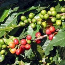Зеленый кофе. Как правильно заваривать?