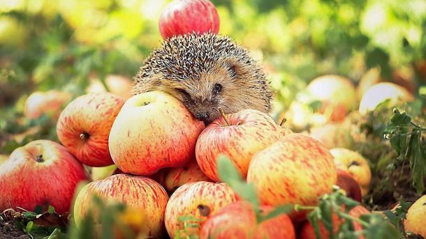 Яблоки улучшают работоспособность организма