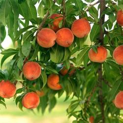 Польза персика: 15 причин есть персики