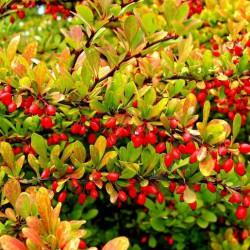 Китайский барбарис или ягода Годжи