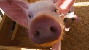 Сокращение поставок свинины в Россию
