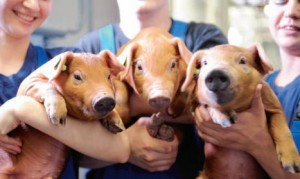 Красноярск: расценки на свинину с начала 2014 года увеличились на 40%